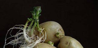 khoai tây mọc mầm còn ăn được không